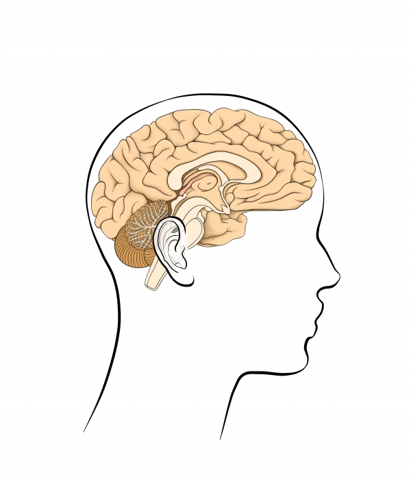 Limbic System The Neuroanatomical Substrate Of Psychoemotional